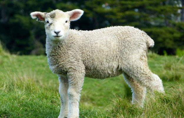 Graasdierpremie runderen en schapen