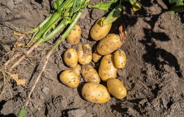 Aanmelden voor tegemoetkoming aardappeltelers