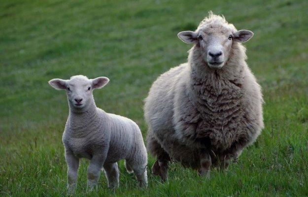 Graasdierpremie schapen 2020 valt lager uit